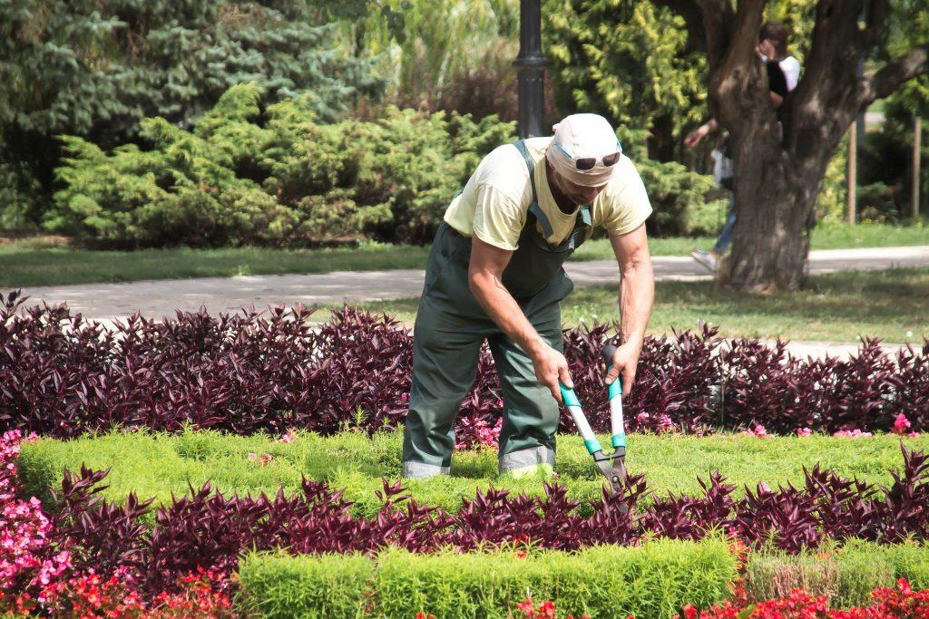 Jardinier qui taille un buisson l'été